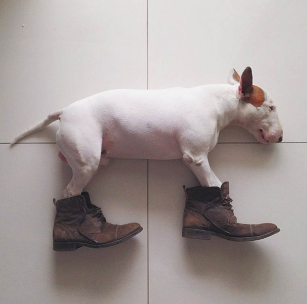 rafael-mantesso-bull-terrier-26